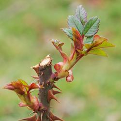 rose new budding
