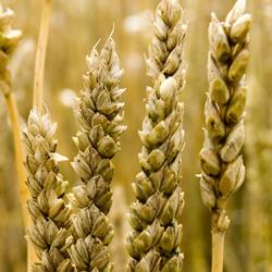oats_250x250