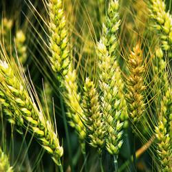 wheat_250x250